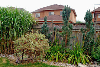 Photo: Narrow plants such as these columnar Scots Pines are valuable in today's smaller yards for creating a privacy screen without using up too much space.