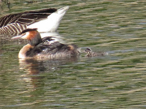 Photo: Trench Middle Pool Blown-up as much as I could and still kind-of-hard to be sure: at least 2 juvenile Great Crested Grebes with the parent – one in the water and the other on the back. There could be more tucked away [behind is a Greylag Goose]. (Ed Wilson)