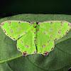 Geometrid Moth