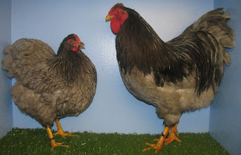 Photo: Blue Wyandottes Breed by Cheshire Poultry
