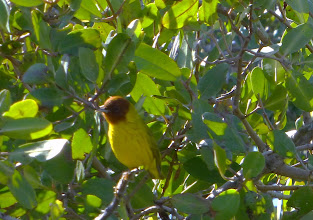 Photo: Male Mangrove warbler (only resides in MX mangroves). Highlight bird find.
