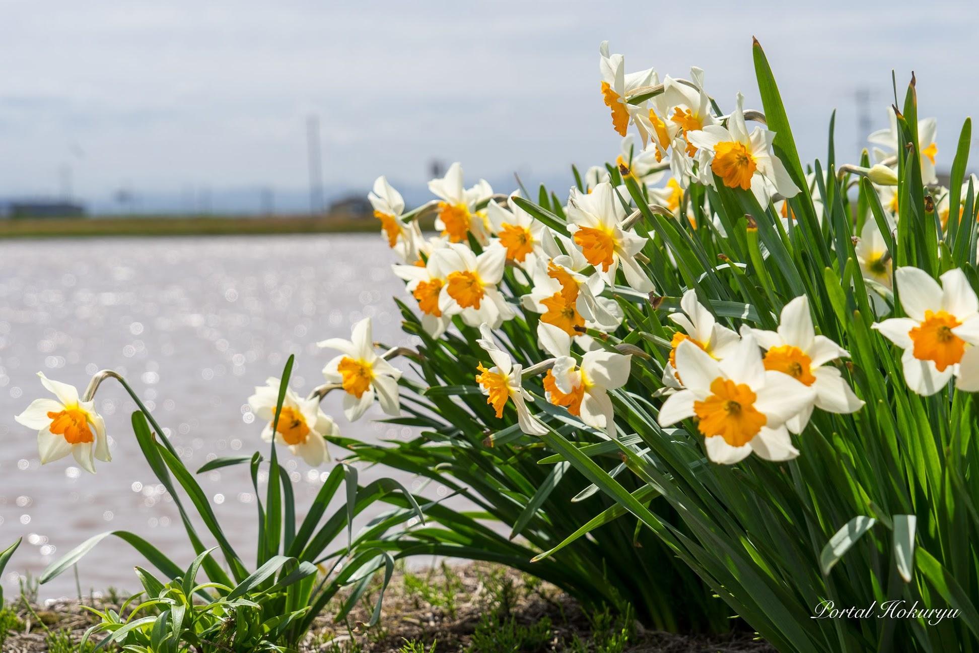 可憐に咲く水仙の花