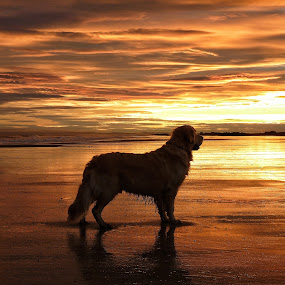 Golden by Brian Wilson - Animals - Dogs Portraits