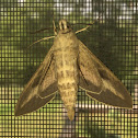 White-Lined Sphinx or Hummingbird Moth
