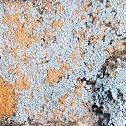 Hoary Cobblestone Lichen