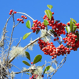 Red berries on the tree by Mary Gallo - Nature Up Close Trees & Bushes ( blue sky, nature, tree, nature up close, nature photography, red berries )