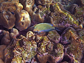 Photo: a lined surgeonfish