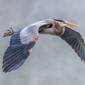 Great Blue in Fog by Mike Watts - Animals Birds ( water, bird, great blue heron )