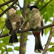 Suara pikat burung kutilang APK