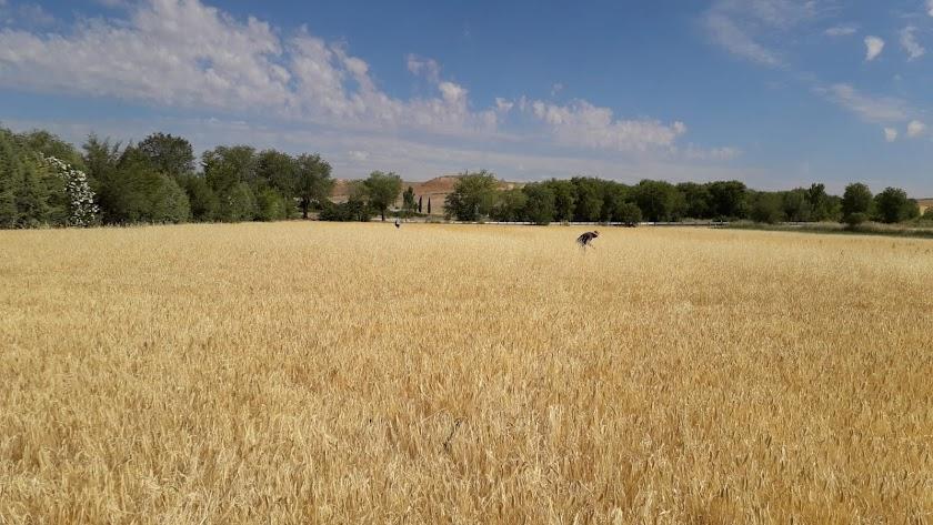 Plantaciones agostadas tras muchos meses de escasez de lluvias