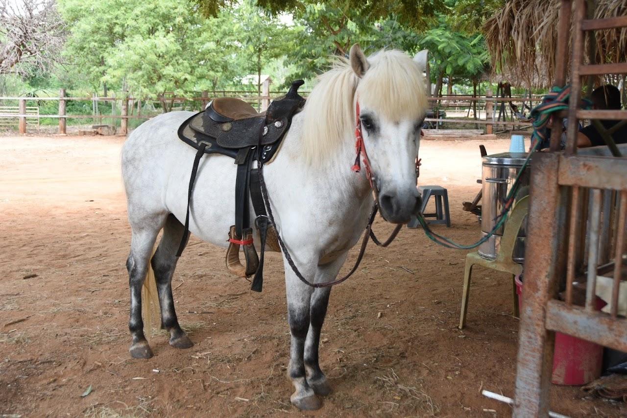 カオヤイ・モーポー牧場 乗馬用の馬