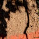 śāl, sakhua or shala tree