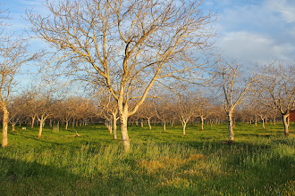 Photo: Nut orchards, Winters