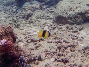 Photo: Diploprion bifasciatum (Doublebanded Soapfish), Miniloc Island Resort reef, Palawan, Philippines.