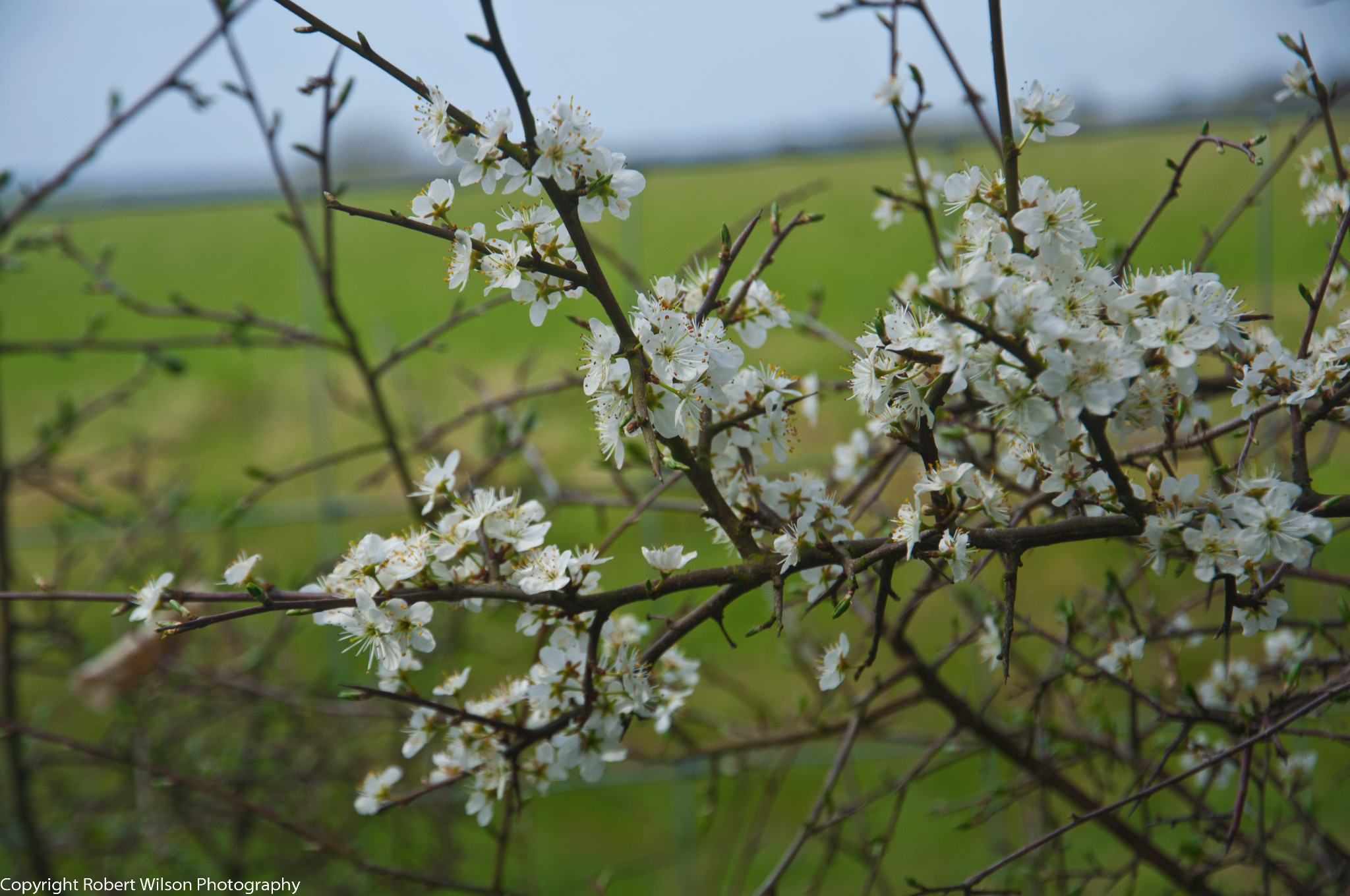 Photo: Hawthorne Blossom along the path leading to Upper Woodend Farn