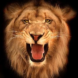 Lion Snarl! by Shawn Thomas - Animals Lions, Tigers & Big Cats ( pride, predator, lion, cat, carnivore, mane, wildlife, king, large )