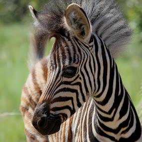 Baby Zebra by Thean Jonck - Animals Other