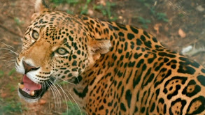 Jeff and the Jaguar thumbnail