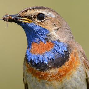 Blåstrupe by Kjetil Salomonsen - Animals Birds ( bird, red, blue, colorful, bluethroat )