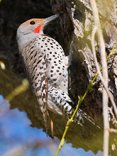 Photo: Flicker hollowing out trunk of willow tree for its nest