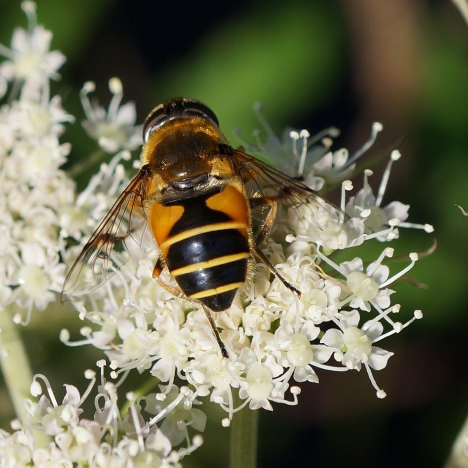 bloem en puntbijvlieg - Eristalis nemorum