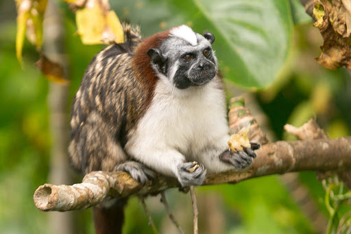 A squirrel-sized Tamarin or titi monkey at Monkey Island in Panama.