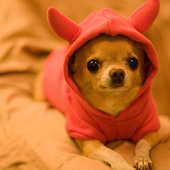Chihuahuas Dog Wallpapers