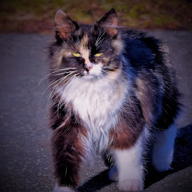 Wild Whiskers by Sue Delia - Animals - Cats Portraits ( calico, cat, long hair, whiskers, feral,  )