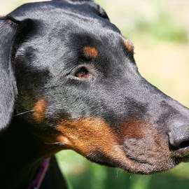 Dobermann by Sharon Bennett - Animals - Dogs Portraits ( tan, black, dobermann, black and tan, dog, pet, doberman )