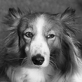 Ruby by Chrissie Barrow - Black & White Animals ( monochrome, black and white, sheltie cross, pet, fur, ears, grey, dog, mono, nose, portrait, eyes, animal )