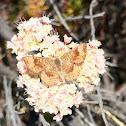 Dusky Metalmark butterfly