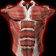 Muscular System 3D (anatomy) (app)