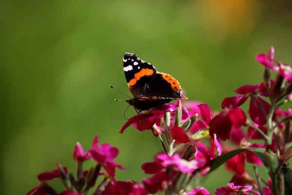 La delicatezza di una farfalla di giuliaf
