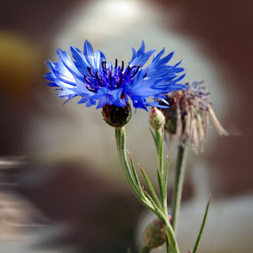 flower by Laxmikant Shah - Flowers Single Flower (  )