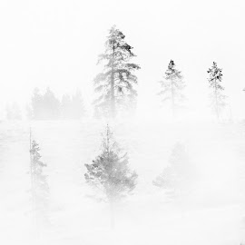 Fog in the Forest by Richard Michael Lingo - Landscapes Weather ( forest, weather, landscape, yellowstone, fog )