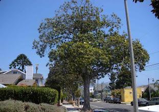 Photo: Magnoila trees August 2012 Santa Barbara