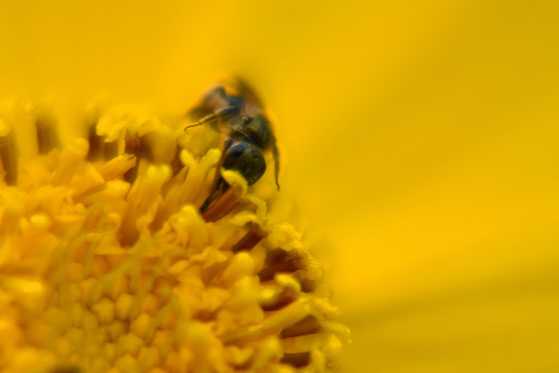 Macro fiore e ape di walter_bianchi