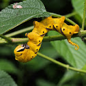 Caterpillar of Death's-head Hawk Moth