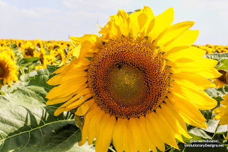 Photo: On one of our back road trips, we came across this large field of sunflowers just outside of Celina, Texas.  © James Johnston - http://www.EvolutionaryDesigns.net/ / http://JamesJohnston.info/