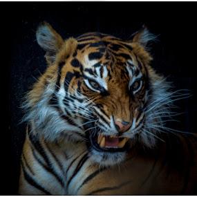 Sumatran Tiger by Brian Rogers - Animals Lions, Tigers & Big Cats ( preditor, tiger, sumatra, hunter, big cat )