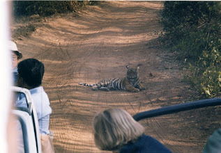 Photo: This tiger cub comes to the dust road to give us a better view!
