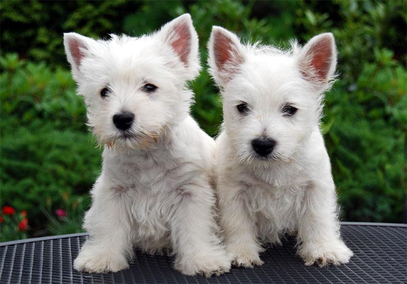 File:Westie pups.jpg