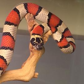 by Rick Luiten - Animals Reptiles (  )