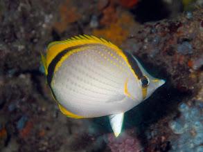Photo: Yellow-Dotted Butterflyfish - Chaetodon selene