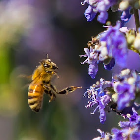 Honey Bee making the rounds by Greg Bracco - Animals Insects & Spiders ( honey bee, bee, fire island, vacation, honeybee, summer, beehive, bees, flower,  )