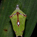 Chrysalis of Malay Baron