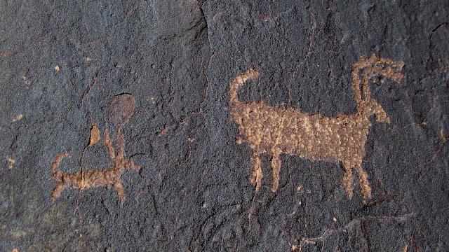Canine chasing a bighorn sheep