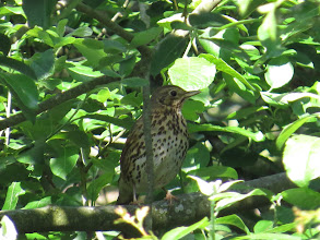 Photo: 25 Jun 13 Priorslee Lake: A rare site at the moment: a Song Thrush with its mouth closed. (Ed Wilson)