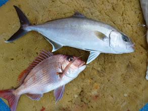Photo: ネリゴと真鯛のダブルキャッチです!