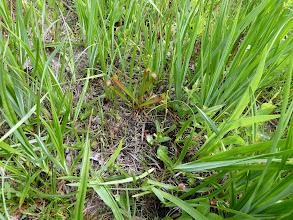 Photo: Sarracenia psittacina x rubra at Splinter Hill Bog Preserve in Alabama.